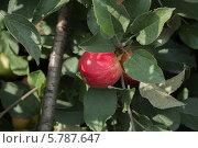 Купить «Яблоко на ветке, сорт Мантет», фото № 5787647, снято 1 сентября 2012 г. (c) Александр Самолетов / Фотобанк Лори