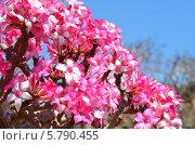 Цветы бутылочного дерева (2014 год). Стоковое фото, фотограф Овчинникова Ирина / Фотобанк Лори