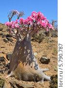 Бутылочные деревья на плато Муми, остров Сокотра в Йемене (2014 год). Стоковое фото, фотограф Овчинникова Ирина / Фотобанк Лори