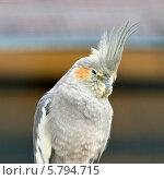 Хохлатый попугай корелла (Nymphicus hollandicus) Стоковое фото, фотограф Юлия Кузнецова / Фотобанк Лори