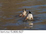 Купить «Две утки ныряют в воду», фото № 5800927, снято 11 апреля 2014 г. (c) Ekaterina Andreeva / Фотобанк Лори