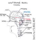 Купить «Рисунок: сагиттальный разрез головы человека», иллюстрация № 5802407 (c) Агата Терентьева / Фотобанк Лори