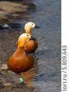 Купить «Утки огари идут по берегу пруда», фото № 5809643, снято 13 апреля 2014 г. (c) Ekaterina Andreeva / Фотобанк Лори
