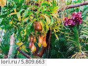 Купить «Плотоядное растение семейства Nepenthes в оранжерее ботанического сада в Москве», фото № 5809663, снято 25 марта 2014 г. (c) Володина Ольга / Фотобанк Лори