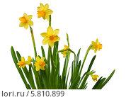 Купить «Желтые нарциссы на белом фоне», фото № 5810899, снято 28 марта 2014 г. (c) Наталья Волкова / Фотобанк Лори