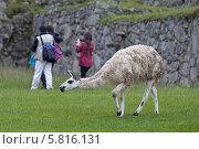 Южная Америка, альпака на поле (2014 год). Редакционное фото, фотограф Анатолий Марков / Фотобанк Лори