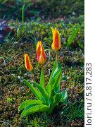 Купить «Миниатюрные тюльпаны на фоне почвы. Мал мала меньше», эксклюзивное фото № 5817283, снято 13 апреля 2014 г. (c) Svet / Фотобанк Лори