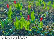 Купить «Миниатюрные красные тюльпаны на фоне почвы», эксклюзивное фото № 5817307, снято 13 апреля 2014 г. (c) Svet / Фотобанк Лори