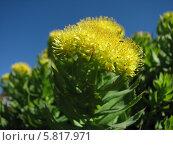 Купить «Родиола розовая, или золотой корень (Phodiola rosea)», фото № 5817971, снято 28 мая 2013 г. (c) Беляева Наталья / Фотобанк Лори