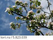 Яблоня весной в цвету. Стоковое фото, фотограф Галина Карпова / Фотобанк Лори