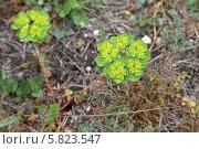 Купить «Молочай солнцегляд (сонячний) Euphorbia helioscopia», эксклюзивное фото № 5823547, снято 12 апреля 2014 г. (c) Алексей Гусев / Фотобанк Лори