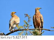 Купить «Стервятники (Neophron Percnopterus) на ветке дерева», фото № 5827911, снято 31 марта 2014 г. (c) Овчинникова Ирина / Фотобанк Лори