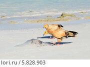 Купить «Стервятники (Neophron Percnopterus) клюют ската на берегу Аравийского моря», фото № 5828903, снято 23 марта 2014 г. (c) Овчинникова Ирина / Фотобанк Лори