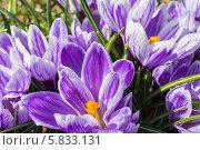 Купить «Фиолетовые крокусы крупным планом», эксклюзивное фото № 5833131, снято 19 апреля 2014 г. (c) Михаил Широков / Фотобанк Лори