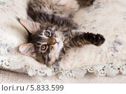 Котенок мэйн-кун среди подушек, фото № 5833599, снято 22 апреля 2014 г. (c) Архипова Мария / Фотобанк Лори