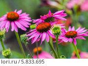 Купить «Эхинацея пурпурная», фото № 5833695, снято 18 июля 2013 г. (c) Ольга Сейфутдинова / Фотобанк Лори