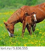Купить «Лошадь с жеребенком на пастбище», фото № 5836555, снято 15 мая 2011 г. (c) Эдуард Кислинский / Фотобанк Лори