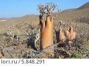Плато над ущельем Калесан, остров Сокотра, бутылочное дерево (2014 год). Стоковое фото, фотограф Овчинникова Ирина / Фотобанк Лори