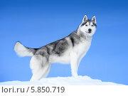 Купить «Сибирский Хаски на фоне голубого неба», фото № 5850719, снято 23 марта 2013 г. (c) Евгений Захаров / Фотобанк Лори
