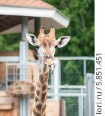 Жираф показывает язык. Стоковое фото, фотограф Вячеслав Зеленин / Фотобанк Лори