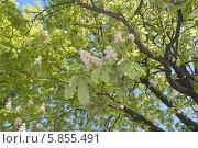 Купить «Дерево каштана весной на фоне неба», эксклюзивное фото № 5855491, снято 29 апреля 2014 г. (c) Svet / Фотобанк Лори