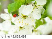 Купить «Божья коровка на цветке сливового дерева», фото № 5858691, снято 14 мая 2013 г. (c) Alexandra Ustinskaya / Фотобанк Лори