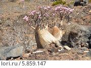 Йемен, остров Сокотра, плато Диксам, бутылочное дерево (2014 год). Стоковое фото, фотограф Овчинникова Ирина / Фотобанк Лори
