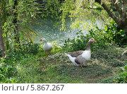 Купить «Два гуся на берегу пруда», эксклюзивное фото № 5867267, снято 14 апреля 2014 г. (c) Dmitry29 / Фотобанк Лори