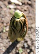 Подофилл Эмода (Podophyllum emodii) Стоковое фото, фотограф Наташа Антонова / Фотобанк Лори
