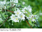 Купить «Белые цветы  груши в каплях дождя  весной», эксклюзивное фото № 5869791, снято 27 апреля 2014 г. (c) Svet / Фотобанк Лори