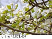 Груша цветет. Стоковое фото, фотограф Елена / Фотобанк Лори