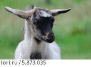 Купить «Портрет пятнистого козленка», фото № 5873035, снято 20 апреля 2014 г. (c) Паровышник Наталья / Фотобанк Лори