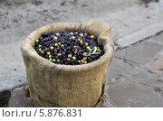 Оливки в холщовом мешке. Сбор урожая. Стоковое фото, фотограф Екатерина Караваева / Фотобанк Лори