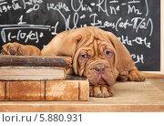 Купить «Щенок лежит на стопке книг», фото № 5880931, снято 23 марта 2014 г. (c) Алексей Кузнецов / Фотобанк Лори