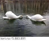 Купить «Два лебедя ищут еду в воде», фото № 5883891, снято 16 апреля 2014 г. (c) Светлана Голубкова / Фотобанк Лори