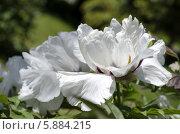 Белые пионы. Стоковое фото, фотограф Наталия Тихонова / Фотобанк Лори