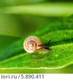 Купить «Улитка ползёт по зелёному листику», эксклюзивное фото № 5890411, снято 9 мая 2014 г. (c) Игорь Низов / Фотобанк Лори