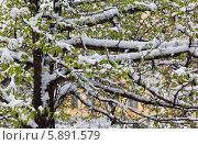 Купить «Весенняя непогода. Цветущее дерево в снегу», фото № 5891579, снято 7 мая 2014 г. (c) Виктория Катьянова / Фотобанк Лори