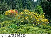 Купить «Яркие кусты рододендрона среди хвойных деревьев», эксклюзивное фото № 5896083, снято 10 мая 2014 г. (c) Svet / Фотобанк Лори