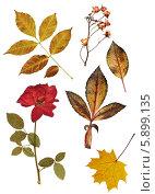 Купить «Засушенные цветы и листья на белом фоне», фото № 5899135, снято 17 июля 2019 г. (c) Лукиянова Наталья / Фотобанк Лори