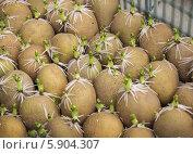 Купить «Проросшие клубни картофеля», фото № 5904307, снято 9 мая 2014 г. (c) Александр Романов / Фотобанк Лори