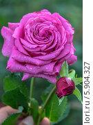 Купить «Роза чайно-гибридная Клод Брассер (Claude Brasseur) Meilland», фото № 5904327, снято 6 июля 2013 г. (c) Ольга Сейфутдинова / Фотобанк Лори