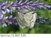 Бабочки-боярышницы. Стоковое фото, фотограф Бушаева Екатерина / Фотобанк Лори