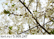 Купить «Вишня в цвету», фото № 5909247, снято 7 мая 2014 г. (c) Юлия Бурдакова / Фотобанк Лори