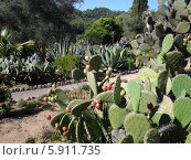 Кактусы в ботаническом саду Pinya de Rosa, Коста Брава, Каталония, Испания (2013 год). Стоковое фото, фотограф Луиза Варфоломеева / Фотобанк Лори