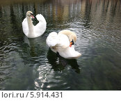 Купить «Два лебедя», фото № 5914431, снято 16 апреля 2014 г. (c) Светлана Голубкова / Фотобанк Лори