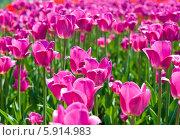 Распустившиеся ярко-розовые тюльпаны в весенний солнечный день. Стоковое фото, фотограф E. O. / Фотобанк Лори