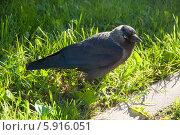 Ворона на траве. Стоковое фото, фотограф Юля С. / Фотобанк Лори