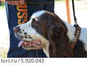 Выставка охотничьих собак 2014г, г.Дзержинск. Стоковое фото, фотограф Геннадий Балаев / Фотобанк Лори