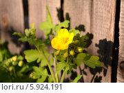 Цветок Чистотела. Стоковое фото, фотограф Александр Бураков / Фотобанк Лори